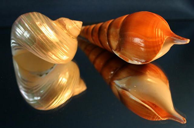 صدف دریایی بسته ای