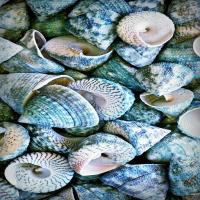 صدف دریایی سبز