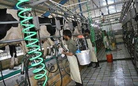 کاملترین راهنمای پرورش گاو شیری