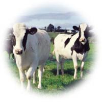 پرورش گاو شیری و گاو گوشتی و تاسیس گاوداری